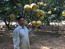 Phát tài với vườn bưởi Diễn 40.000 quả
