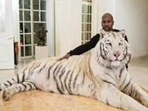 Liều mạng như Mayweather: Đùa giỡn với hổ trắng khổng lồ
