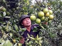 Lão nông có biệt tài bắt cam ra quả sai theo ý muốn