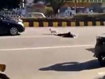 Chủ bị xe tông chết, chú chó trung thành loanh quanh nhiều giờ bên thi thể