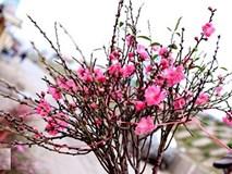 10 loại cây hoa được ưa chuộng mua dịp Tết