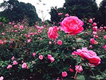Giấc mơ cô gái liều: Hằng Karose đồi hồng vạn gốc, Hằng Ruby gia tài 600 giống hoa
