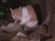 Rơi nước mắt vì chú mèo kiên quyết không chịu rời xa thi thể bạn