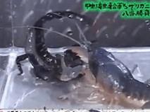 Thủy chiến ác liệt giữa tôm hùm và bọ cạp: Cặp càng nào khỏe hơn?