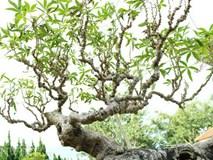 """Lạ mắt chiêm ngưỡng tác phẩm bonsai """"Lão mì"""" 25 năm tuổi"""