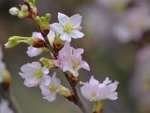 Chán đào đông - mai mỹ, gia đình Việt chuyển sang hoa anh đào Nhật, tuyết mai Đài Loan chơi Tết
