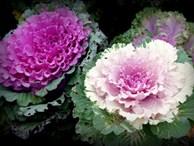 Hồng sa mạc 90.000 đồng/bông, đẹp nhưng giá 'cắt cổ', hoa nội có lép vế?