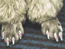 Chú chó được chủ dẫn đi làm nail đón Tết