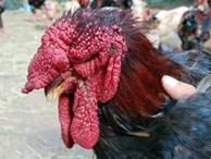 Gần Tết, gà tiến vua Đồng Tháp 400.000 đồng/kg mà vẫn 'cháy' hàng