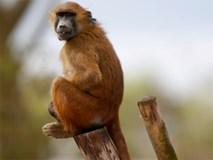 Sở thú Paris đóng cửa vì 50 khỉ đầu chó sổng chuồng