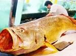 Bắt được cá lạ vảy vàng óng 3,5kg nghi cá sủ vàng quý hiếm-3