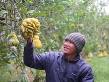 Phật thủ chín sớm, quả đẹp giá 2 triệu, người trồng lo thất thu