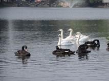 Đàn thiên nga ở hồ Thuyền Quang đang được bảo vệ như thế nào?