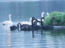 Xem xét lắp camera ở hồ Thiền Quang để bảo vệ thiên nga