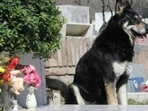 Chú chó ngủ cạnh mộ chủ suốt 11 năm cho đến chết