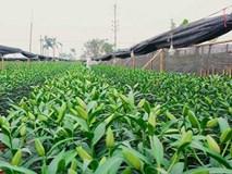Nông dân Tây Tựu: 'Kêu gọi giải cứu hoa ly, thương lái về ép giá'