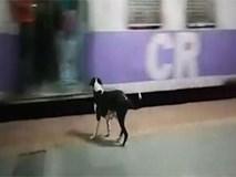 Câu chuyện cảm động về chú chó cứ 23h đêm lại ra ga tàu làm một điều lạ lùng