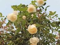 Quà 8/3: Hoa hồng 'khủng' của cô gái 9X, giá trăm triệu đắt khách