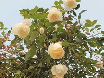 """Quà 8/3: Hoa hồng """"khủng"""" của cô gái 9X, giá trăm triệu đắt khách"""