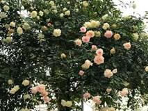 Cây hồng bạch nở hàng trăm bông của người phụ nữ dành trọn niềm đam mê cho hoa ở Thái Nguyên