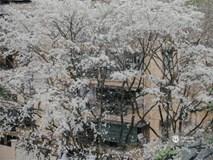 Đây là Hà Nội, của những ngày trắng muốt hoa sưa...