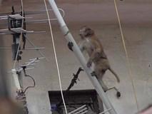 Nguồn gốc hai con khỉ hoang đang đại náo tổ dân phố ở Hà Nội
