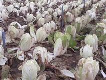 Hoa ly 2.000 đồng/cành, dưa chuột 3.000 đồng/kg: Cũng chỉ tại thời tiết
