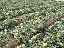 Hết củ cải Mê Linh, nông dân Hải Dương rớt nước mắt vứt hàng tấn su hào ven đường