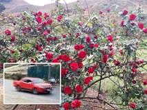 Xuất hiện thông tin mới vụ 'cây hoa hồng đắt giá bị người lạ đánh ô tô vào tận nhà cuỗm mất'