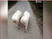 Lợn đi catwalk sành điệu hơn người mẫu chuyên nghiệp