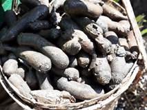 Săn con sâm đất - 'thần dược' viagra hiếm có ở Việt Nam
