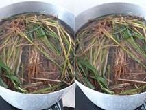 Hệ lụy khôn lường từ việc chữa thủy đậu bằng cách tắm nước gốc rạ