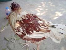 Chú gà bị chặt đầu một tuần vẫn sống, đi lại khỏe mạnh, người dân hiếu kỳ ùn ùn tới xem