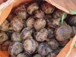 Mộng dừa trắng muốt, hàng lạ miền Tây hút khách Hà thành-3