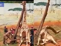 Hươu cao cổ chết thảm vì kẹt đầu giữa 2 cây
