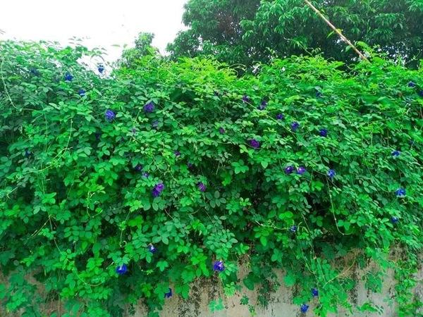 Hoa dại bờ rào đem sấy khô, bán nửa triệu đồng/kg-2