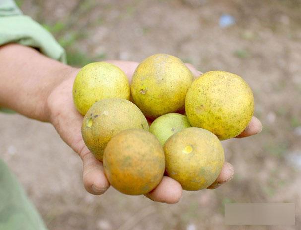 4.000 đồng/1 quả chanh, người dân đi mót từng quả vẫn không có mà bán-1