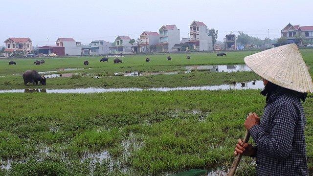 Chỉ có ở Thanh Hóa: Chăn trâu bò phải đóng phí cỏ-2