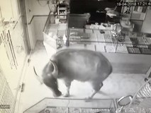 Một con trâu lao vào 'cướp' tiệm vàng, chủ nhà chạy toán loạn còn dân mạng thì cười rơi mồm