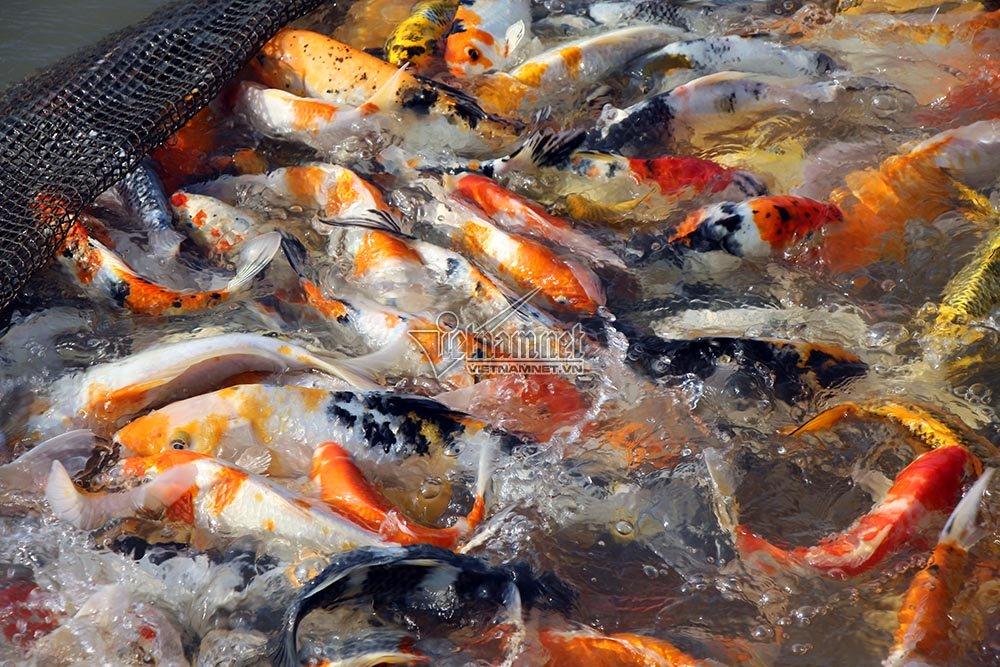 'Thuỷ quái' miền Tây: Ngàn con cá trê hồng đột biến gen kỳ lạ-7