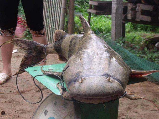 Quái ngư sông Đà và những cuộc vật lộn ly kỳ giữa người và cá-3
