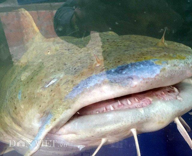 Quái ngư sông Đà và những cuộc vật lộn ly kỳ giữa người và cá-7