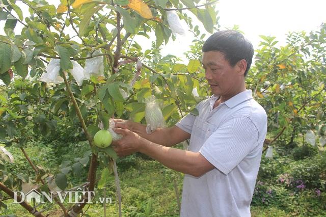 Bỏ nghề buôn lợn, trồng 800 cây ổi lê Đài Loan có hơn nửa tỷ đút túi-1