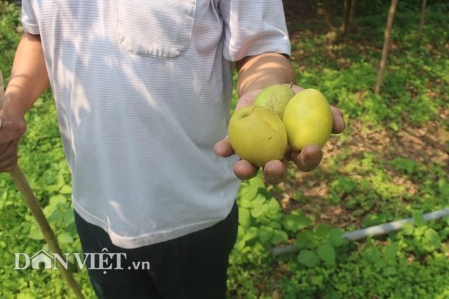 Bỏ nghề buôn lợn, trồng 800 cây ổi lê Đài Loan có hơn nửa tỷ đút túi-4