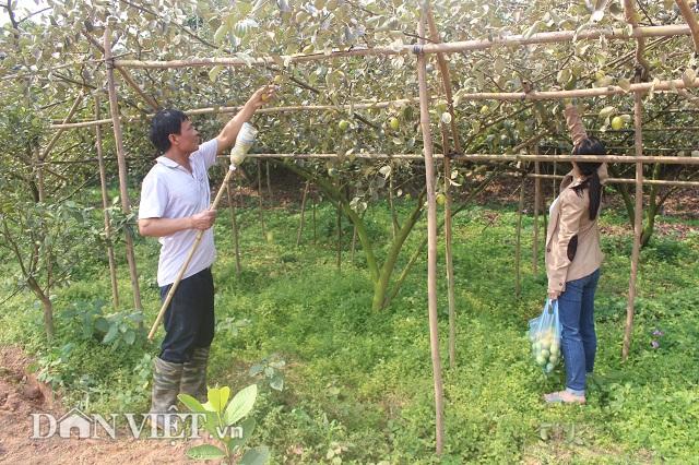 Bỏ nghề buôn lợn, trồng 800 cây ổi lê Đài Loan có hơn nửa tỷ đút túi-3