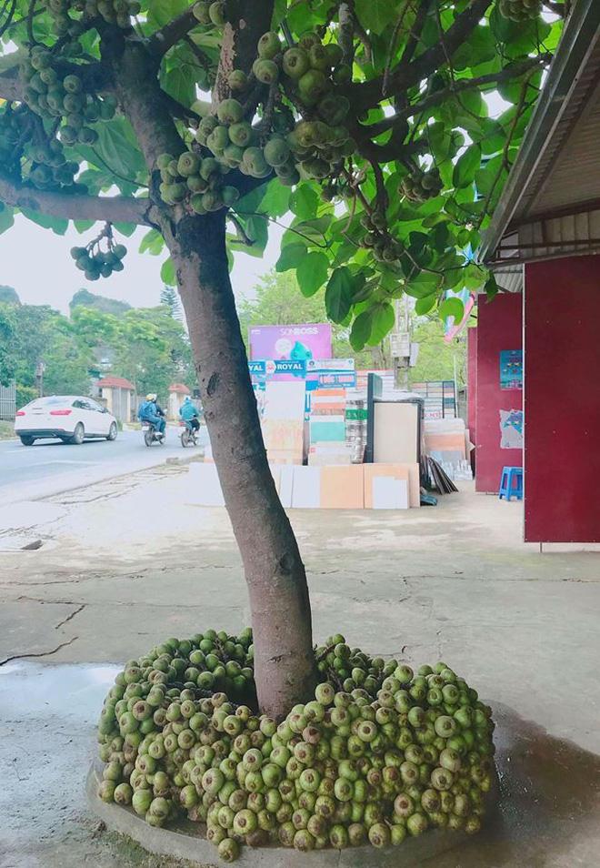 Khoe cây sung quả mọc từ gốc sai trĩu, thanh niên mở ra cuộc tranh cãi trên mạng xã hội-2