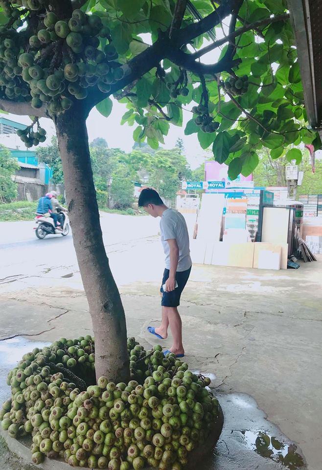 Khoe cây sung quả mọc từ gốc sai trĩu, thanh niên mở ra cuộc tranh cãi trên mạng xã hội-4