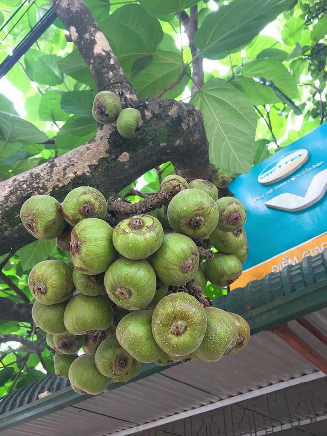 Khoe cây sung quả mọc từ gốc sai trĩu, thanh niên mở ra cuộc tranh cãi trên mạng xã hội-3