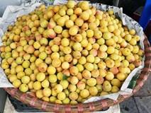 Mùa mơ vàng ươm trên các con phố Hà Nội