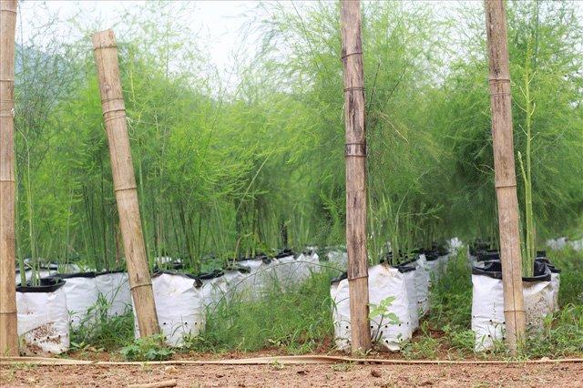 Bỏ công ty riêng về trồng măng tây, thu đều 2 tỷ vào túi-11